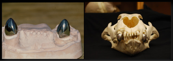 Lion dental cast-Lion skull.png